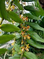 Trichoglotis orchidea  ***Fragrant***
