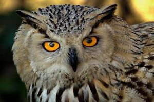 Eurasian Eagle Owl Close Up Photo Art Print Poster 24x36 inch