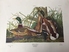 John J. Audubon Deluxe Edition Mallard Duck Anas Boschas Engraving Plate CCXXI