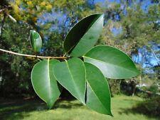 Chinese Privet Glossy Privet  Ligustrum lucidum 10 Seeds   (Free Shipping)