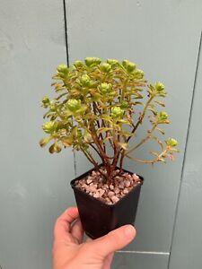 Dwarf Aeonium Sedifolium Dense | succulent | 3 x unrooted stem cuttings