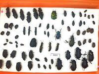 Beetle,30201,Scarabaeidae,Carabidae, Curculionidae-BIG MIX from Southern Russia