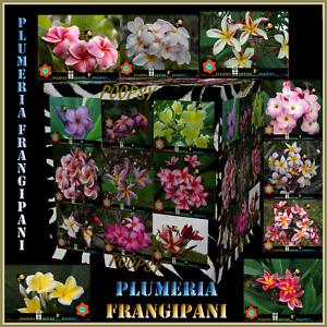 ❀⊱ PLUMERIA ❀ FRANGIPANI ❁ HYBRID INDOOR HOUSE PLANT ✾ 5 SEEDS EACH Ƹ̵̡Ӝ̵̨̄Ʒ⊰❀P4