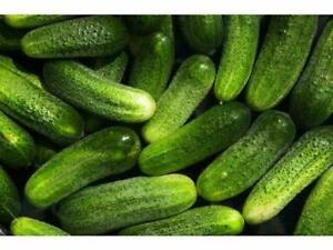 10 Seeds Mini Cucumber F1 Gherkin Anulka Indoor Outdoor Easy Plant Vegetables