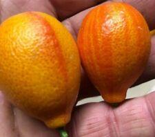 KUMQUAT CENTENNIAL 20 Graines / Pépins Fortunella Margarita Rare Citrus
