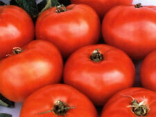 Tomato Jet Star Sweet & Delicious 25 Fresh Seeds Large Yield Hybrid Free Ship!
