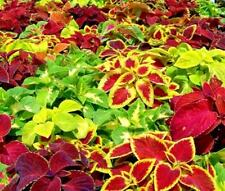 6 Coleus Wizard Mix' Jumbo Plug Plants Shade Lovers
