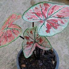 Colocasia Elephant Ear Bulbs Caladium Plant Perennial Tropical Esculenta Rare