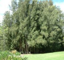 20 x SWAMP SHE-OAK Casuarina glauca native tree seedling plants in 50mm pots