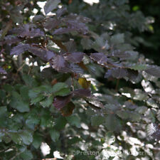 Fagus sylvatica Purpurea Tree 12 litre Pot  Standard Feathered Tree