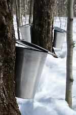 Silver Pails on Maple Trees in New England in the Spring Maple Syrup Journal...