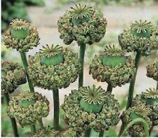 Organic Hens & Chicks Poppy Flower Seeds Papaver Somniferum Seeds 500+ Seeds