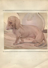Edward Julius Detmold Vintage Print The Dachshund - The Book of Baby Dogs 1929