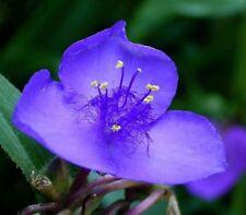 Tradescantia ohiensis - Ohio Spiderwort - 50 Seeds