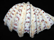 """Bear Paw Giant Clam Sea Shell 7"""" x 5"""" and Coral Seashell Nautical Hippopus"""