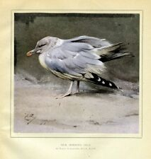 Herring Gull Standing On The Shore, By Edwin Alexander, Displayable Color Print