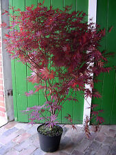 Acer Atropurpureum, Höhe: 140-150 cm, rote Blätter, Fächerahorn + Dünger !