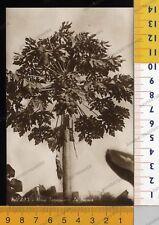 28688] EX COLONIE ERITREA - FLORA TROPICALE - LA PAPAIA