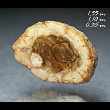 Petrified Wood Slab Conifer Fossilized Madagascar Fossil