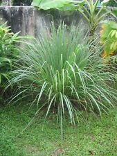 200 Lemon Grass Seeds - Cymbopogon Flexuosus ,Caribbean fever grass, Perennial !