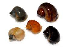 5/10/20/50/100X Assorted Mystery Snails Algae Eaters Beginner Md-Lg KoiKompanion