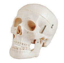 Human Skull Anatomical Anatomy Skeleton Medical Model Natural Bones Life Size UK