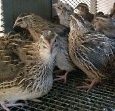 24 Fertile Jumbo Brown Coturnix Quail Hatching Eggs From Meat Amp Egg Birds