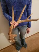 Wild Whitetail Deer Antler Shed Horn Rack Decor Craft 6 Point Dark Drop Tine