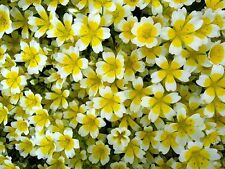 Limnanthes Douglasii, Poached Egg Flower seeds, BULK 50 seeds,