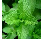 Peppermint, NON-GMO, Aromatic Perennial, Variety Packet Sizes, FREE SHIPPING