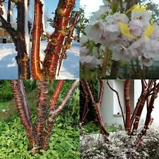 Ornamental Cherry Prunus Serrula 5 Seeds