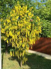 Apfelbaum Goldrenette J044 Dünger Gratis