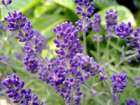 Lavender Seeds, English, Bulk Lavender Seed, Perennial Herb, Very Fragrant 250ct