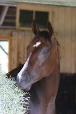 8x10 color photo of Songbird headshot  in stall