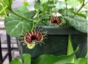 Aristolochia Fimbriata 20 Seeds