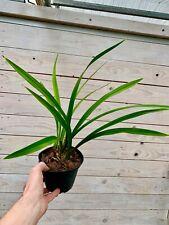 Cymbidium ensifolium ´Red Dots´ blühstark Japan Orchidee Orchideen
