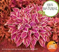 Hosta Bonsai Perennials Seeds Plants Ain Lily Flower Beautiful 100pcs/pack