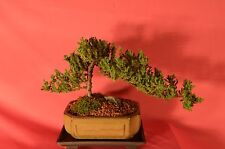 BONSAI,TRADITIONAL,JAPANESE JUNIPER,7 YEARS OLD,WIND SWIPE STYLE.