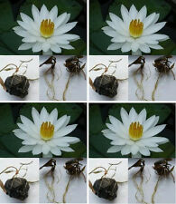 2 Tubers/White Water Lily/Nympheae/Water-Pond Plant