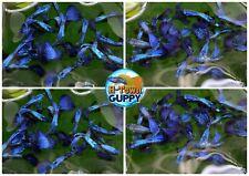 1 PAIR - Live Aquarium Guppy Fish High Quality -  Purple Dragon
