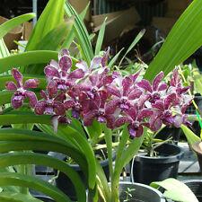 Rare orchid hybrid Seedling - Rhynchostylis gigantea x vanda tessellata