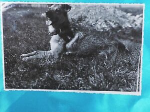 vintage postcard photo happy Lerrania brown dog n grass Rascal Border Terrier*