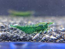 *Neocaridina Shrimp Skittle Pack* Cherry Yellow Green Blue Orange Carbon Rili