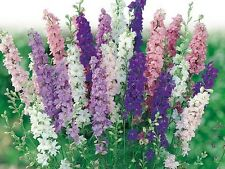100 Delphinium Seeds Pacific Giant Mix FLOWER SEEDS (Perennial)