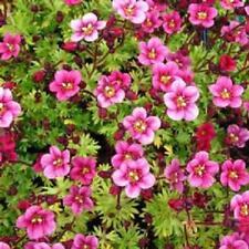 Pack x6 Saxifraga Arendsii 'Rose Pink' Alpine  Rockery Perennial Plug Plants