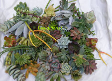 20 Assorted Succulent Cuttings Assorted Varieties