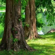 Dawn Redwood, Metasequoia glyptostroboides 40 Tree Seeds  USA SELLER