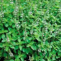 Marjoram- Sweet- Hortensis-100 Seeds - BOGO 50% off SALE