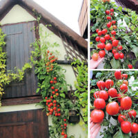 50 Stück Seltene Rote Cherry Tomate Samen Tamaten Obstsamen Gemüsesaatgut