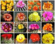 PARODIA VARIETY MIX FLOWERING CACTUS NOTOCACTUS MIXED LOT SEED 1000 SEEDS !!